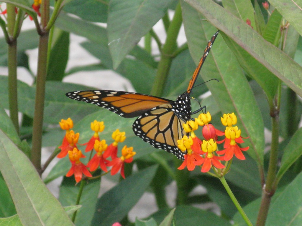 Butterfly on milkweed